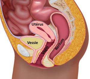 anatomie normale des différents organes pelviens
